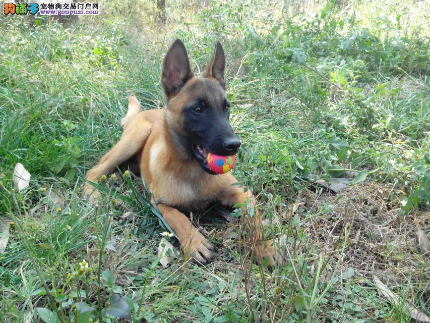 赛级昆明犬幼犬 CKU认证品质 绝对信誉保证