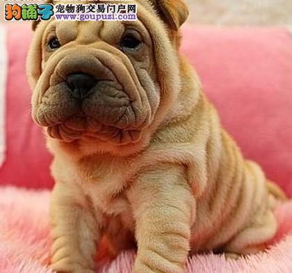 银川实体店低价促销赛级沙皮狗幼犬微信选狗直接视频