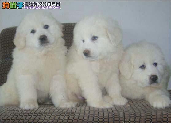 大白熊繁殖哪家强?中国北京顶尖犬业专业繁殖大白熊。