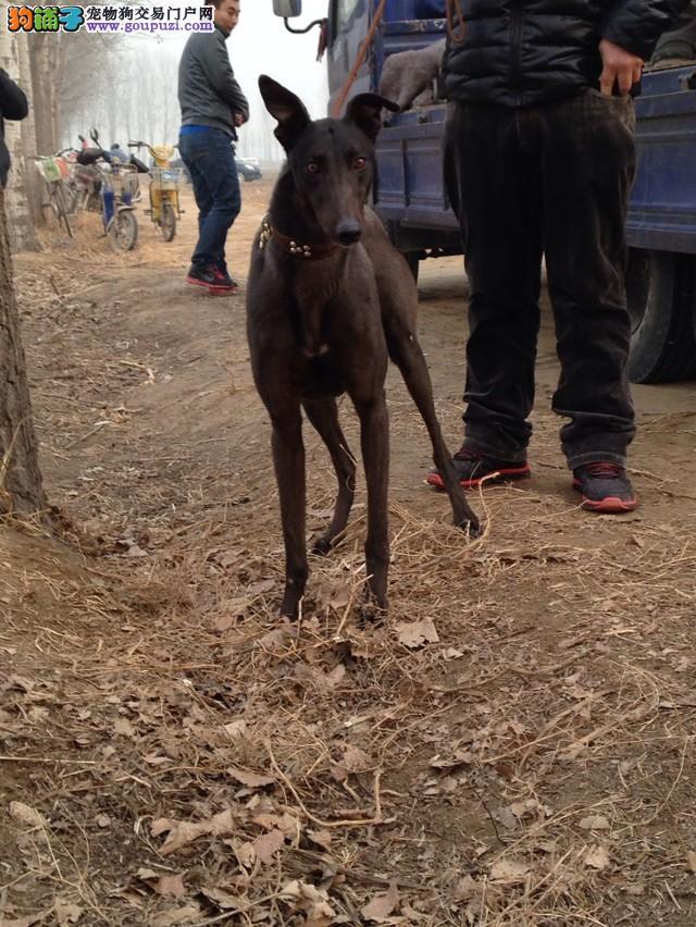 武汉养殖场直销完美品相的格力犬终身完善售后服务
