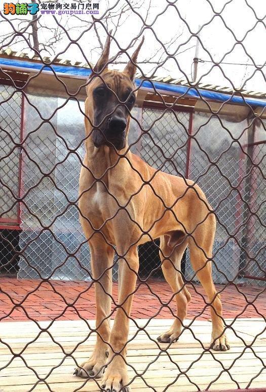 吐鲁番最大的大丹犬基地 完美售后微信看狗真实照片包纯
