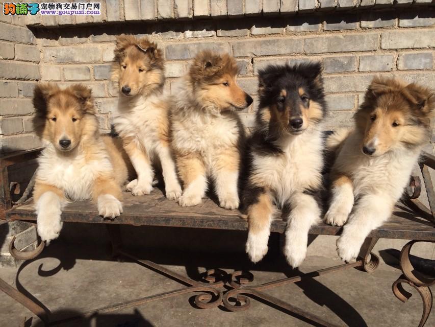 苏格兰牧羊犬舍 苏格兰牧羊犬价格 苏牧多少钱 苏牧犬
