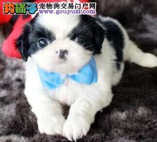 多种颜色的赛级西施犬幼犬寻找主人全国当天发货