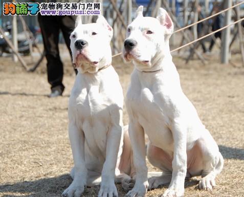 独家出售阿根廷杜高犬。身体健康血统纯