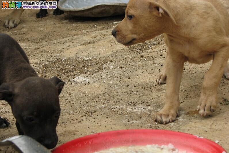出售多种颜色纯种比特犬幼犬签协议上门选