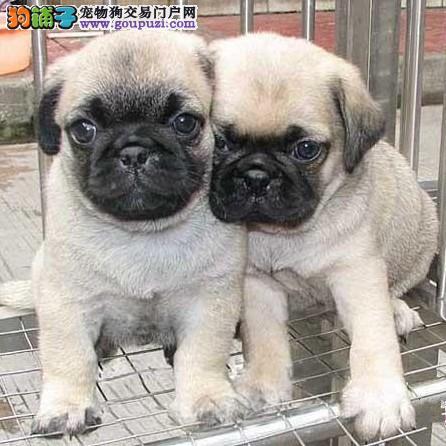 颜色全品相佳的巴哥犬纯种宝宝热卖中爱狗人士优先狗贩勿扰