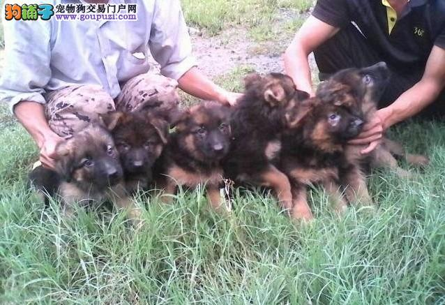 CKU犬舍认证出售高品质昆明犬价格美丽非诚勿扰