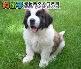 济南自家狗场繁殖直销圣伯纳幼犬购犬可签协议