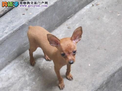 东莞售体型微小纯种的小鹿犬 自家繁殖小巧可爱包养活