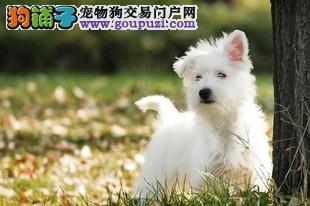 南宁本地出售高品质西高地宝宝可直接微信视频挑选