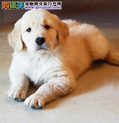 天津家养金毛出售毛色浅品相好父母血统狗