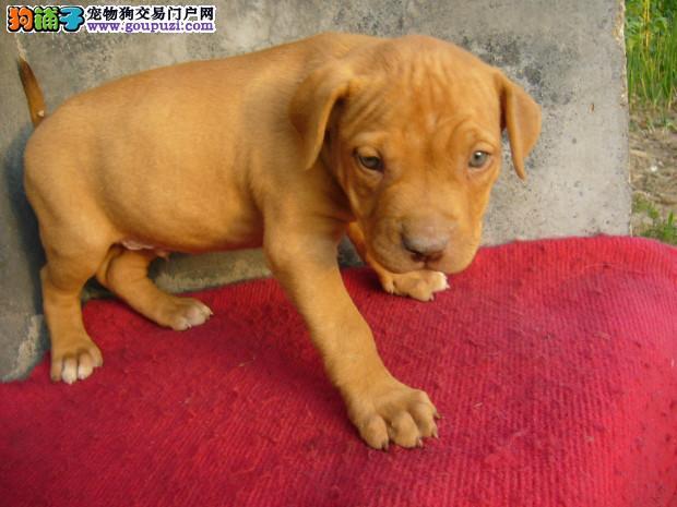 CKU犬舍认证石家庄出售纯种比特犬包售后包退换
