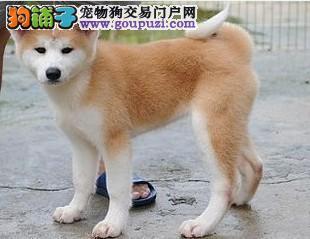出售纯种美系、日系秋田犬 优惠出售 购犬有保障