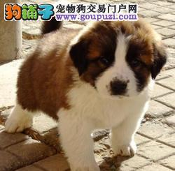 出售高大威猛圣伯纳幼犬宝宝 纯种健康品相优良
