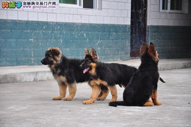 纯种狼狗 幼犬三个月 百分百纯种 品相论价