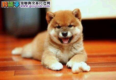 出售聊城柴犬专业缔造完美品质微信选狗直接视频