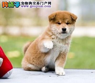 柴犬幼崽出售中,品质极佳品相超好,签订活体协议