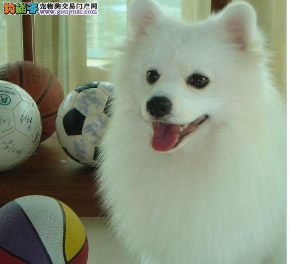 犬舍出售纯正血统 银狐犬 有需要的联系
