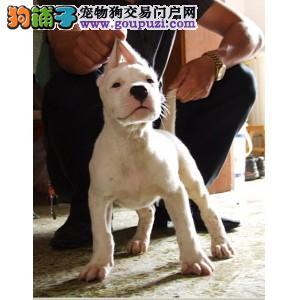 品质健康有保障自贡杜高犬热卖中微信选狗直接视频