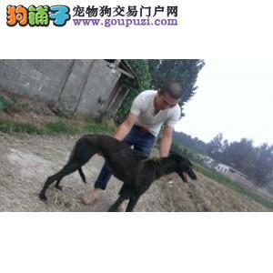榆林CKU认证犬舍出售高品质大丹犬微信咨询看狗