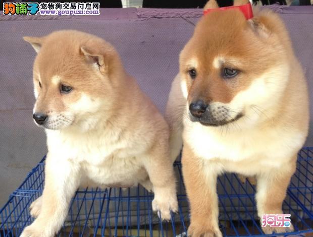 北京繁殖基地出售多种颜色的柴犬包养活包退换