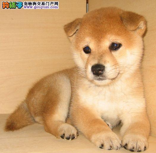 出售纯种健康的兰州柴犬幼犬上门可见父母