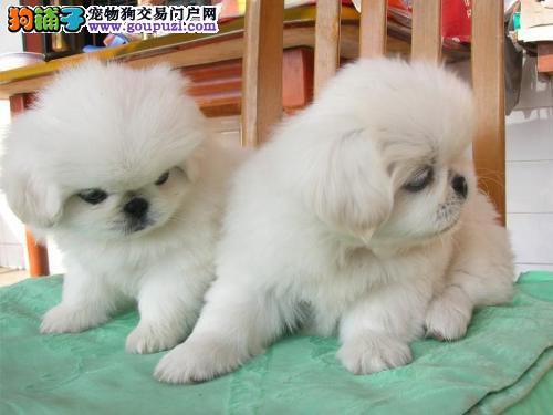 中国人的狗,京巴幼崽,高贵宝宝!!