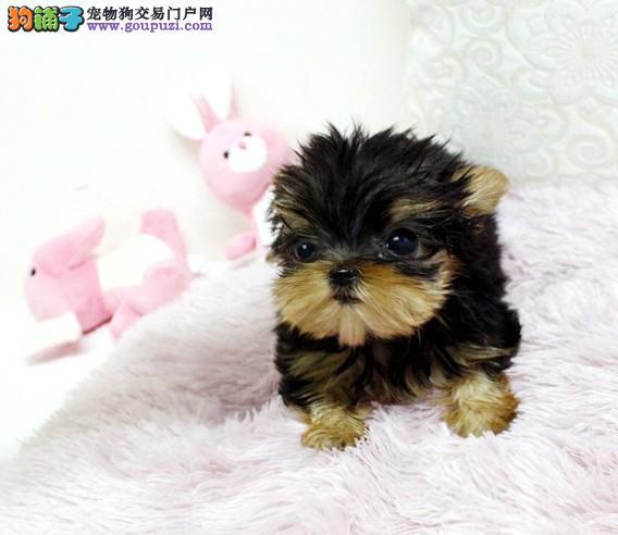 出售可爱的约克夏幼犬对外出售品质保障欢迎来选