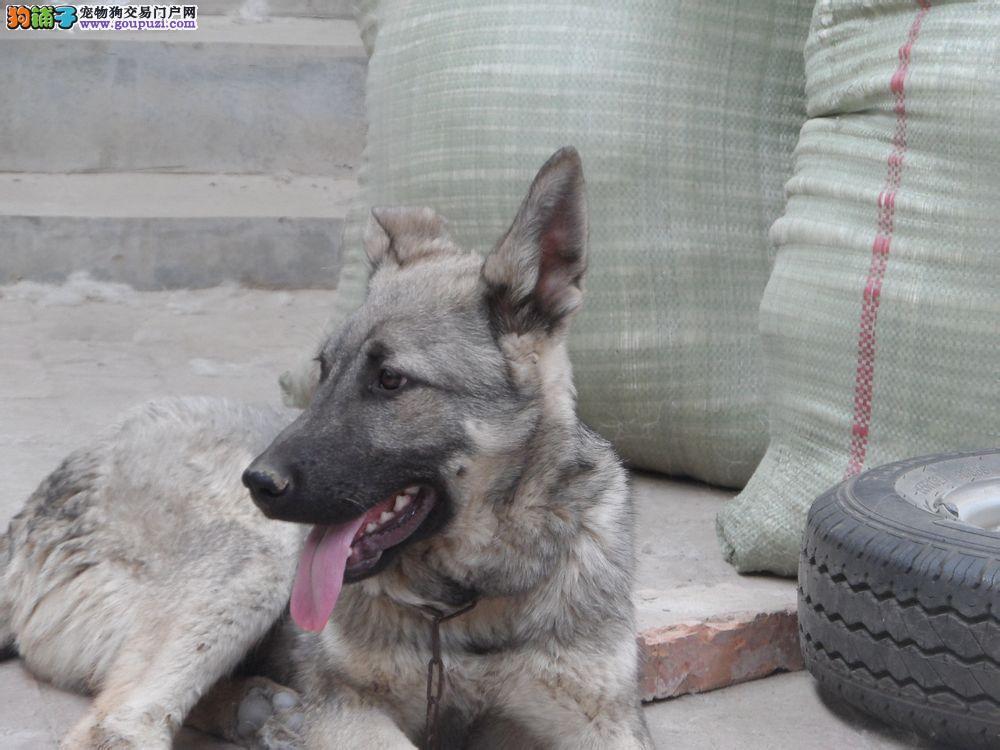 热销多只优秀的纯种狼狗微信咨询看狗
