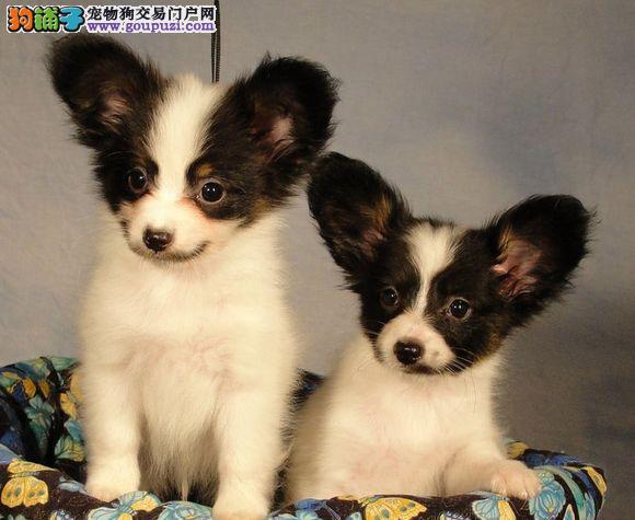 济南最大犬舍出售多种颜色蝴蝶犬以品质惊世人