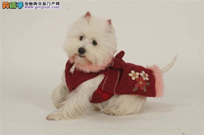 纯种的西高地白梗幼犬、包健康纯种、包退换、欢迎选