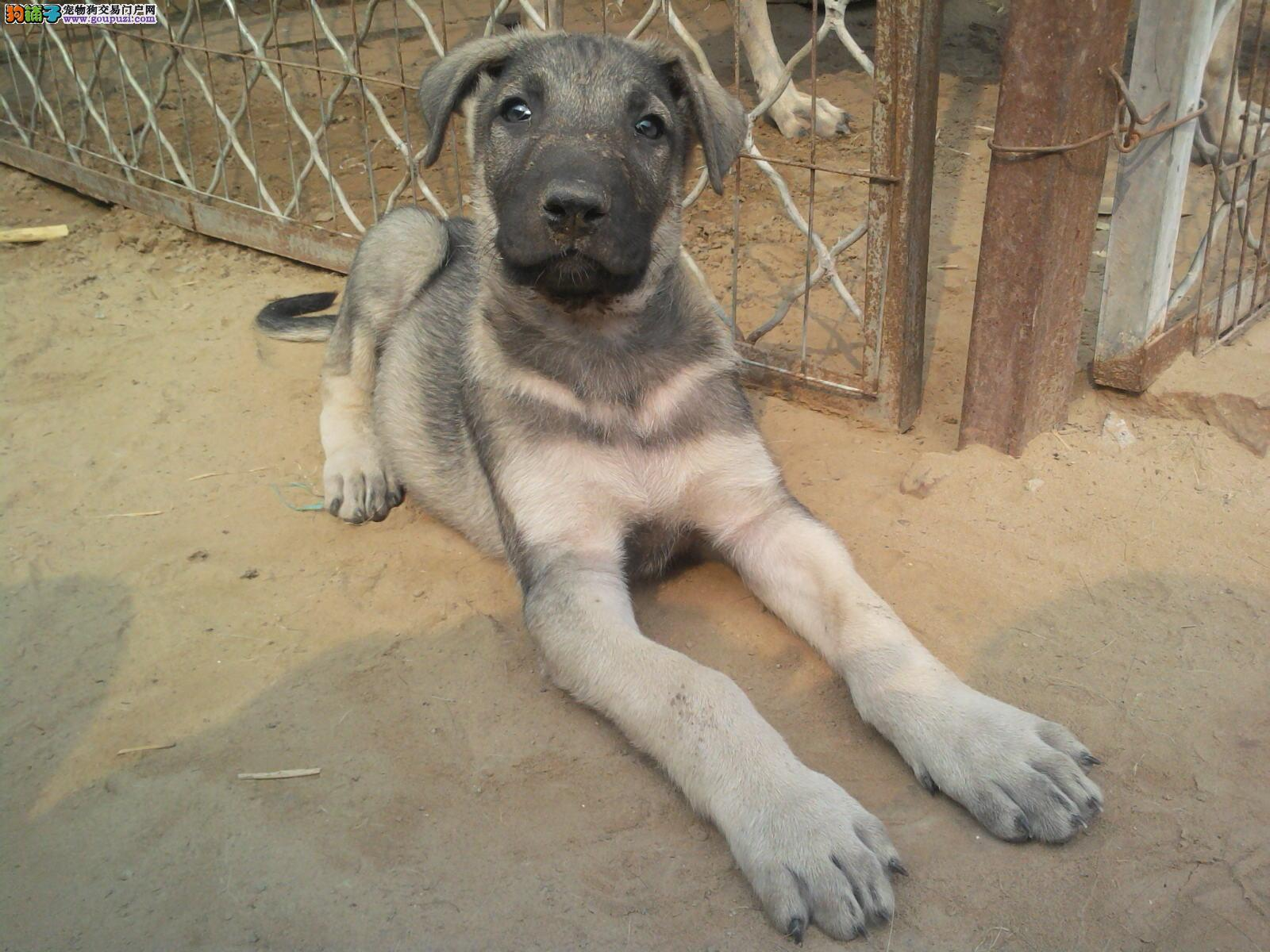 完美品相血统纯正西宁狼狗出售品质血统售后均有保障
