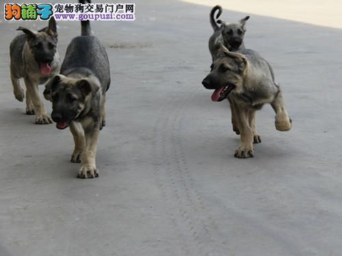 南宁出售狼狗公母都有品质一流喜欢微信咨询