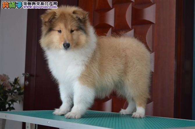 专业繁殖苏格兰犬 价钱低 血统证书芯片齐全