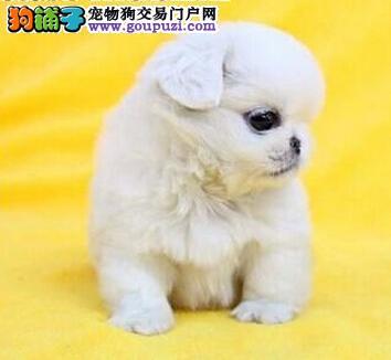 CKU认证犬舍 专业出售极品 京巴幼犬喜欢微信咨询