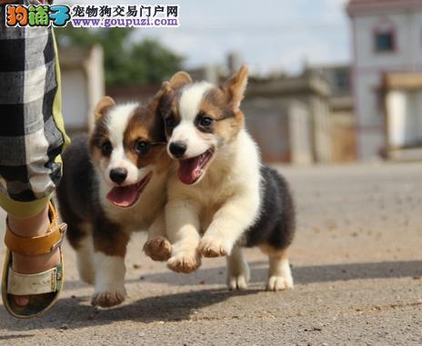 纯种柯基幼犬 CKU品质绝对保证 签订正规合同