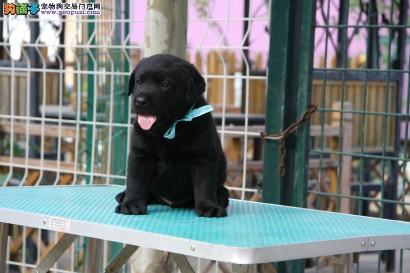养殖基地热销冠军级拉登血系哈尔滨拉布拉多犬 有证书