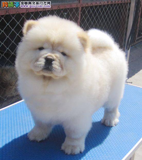 虎威犬舍出售赛级松狮宝宝白色黄色都有