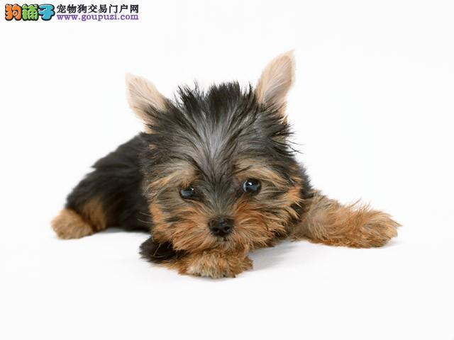 出售高品质约克夏,假一赔十品质第一,购犬可签协议