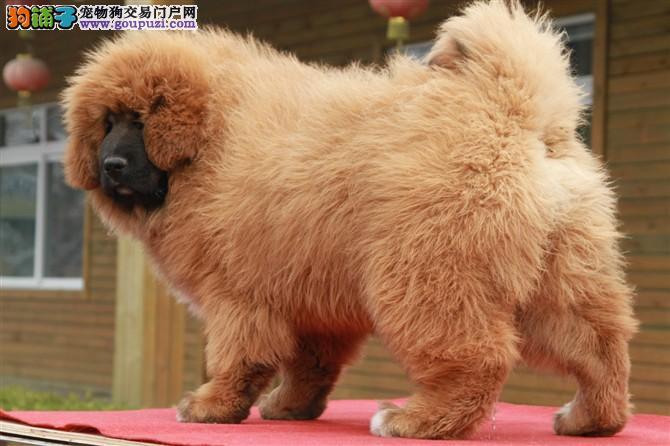 虎威犬舍原生态藏獒出售血统好;可做种狗