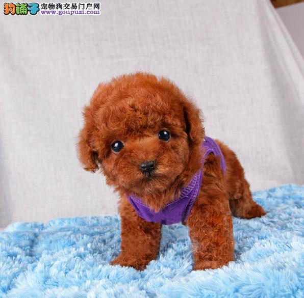 出售高品质泰迪犬、CKU认证绝对保障、三包终生协议
