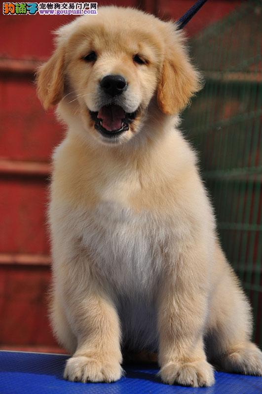 北京名犬俱乐部极品 赛级金毛幼犬宝宝接受预定