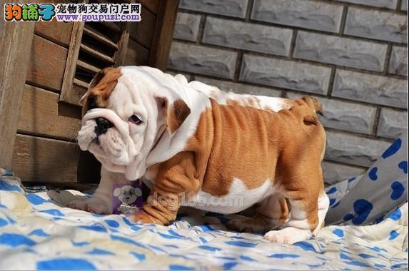 中国高端英国斗牛犬繁育专家出售顶级英牛犬 英斗幼犬