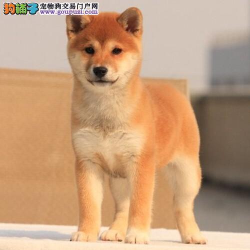 专业正规犬舍热卖优秀西安柴犬当日付款包邮