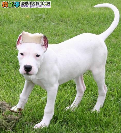 狩猎之王,看家护卫的首选  北京阿根廷杜高犬