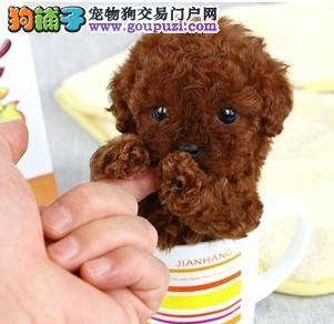 纯种哈尔滨茶杯犬幼犬多窝可挑选血统纯正