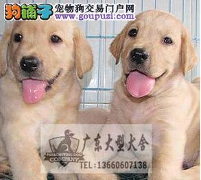 广东大型养狗基地 拉布拉多广州哪里有卖拉多犬