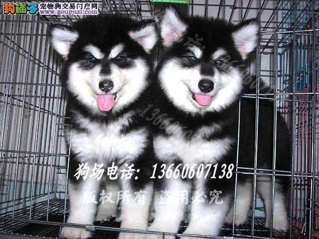 广东大型养狗基地 阿拉斯加 广州哪里有卖阿拉斯加