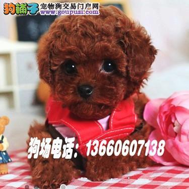 广东大型养狗基地 泰迪熊,广州泰迪熊,佛山泰迪熊