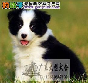 广东大型养狗基地 边境牧羊犬
